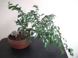 bonsai australian native plants scented leaf ficus wiandi air purifying bonsai