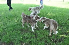 australian shepherd 1 jaar begeleiding
