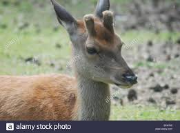 baby deer with stub antlers stock photo royalty free image