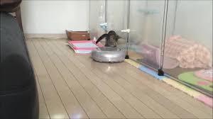 Roomba On Laminate Floors Cat Rides Roomba Around House Jukin Media