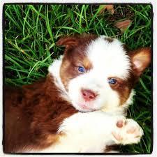 australian shepherd 8 stunden alleine 45 besten dogs bilder auf pinterest aussie welpen tiere und rot