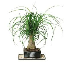 brussel u0027s bonsai ponytail palm indoor dt 7001ptp the home depot
