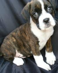 boxer dog reverse brindle best 25 brindle boxer ideas on pinterest boxer dogs brindle