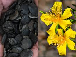 what side does a st go on 5 htp vs st john s wort and the science behind it brain feed