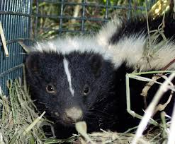 skunk removal and control