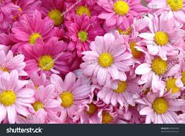 pink color fresh daisy flower stock photo 69476569 shutterstock