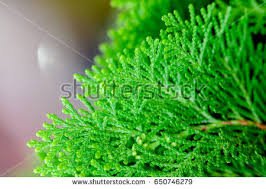 thuja stock images royalty free images u0026 vectors shutterstock