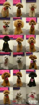 haircutsfordogs poodlemix poodles davinci hair cuts groomers do it doggystyle pinterest