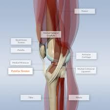 Knee Anatomy Pics Patellar Tendon Depicted On Interactive Knee Model