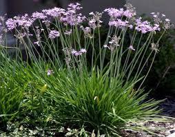 society garlic chatham nurseries