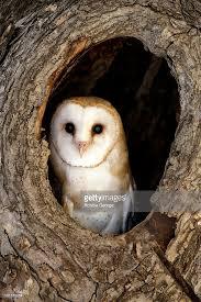 a barn owl tyto alba hiding in its nest in a tree stock photo