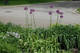 weekend garden notes tuteur iris allium u2013 gardeninacity