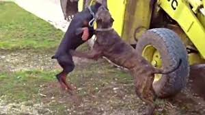 belgian shepherd vs doberman doberman pinscher vs belgian malinois battle of protection dogs