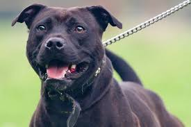 american pitbull terrier in uk staffordshire bull terrier that ate owner u0027s dead body sparks legal
