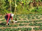 Farmer Cultivated In Strawberry Farm In Chiang Rai Thailand ...