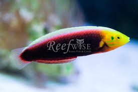 Ultra Fin Radiant by Radiant Wrasse U2013 Reefwise