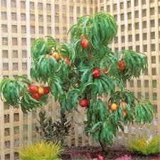 250mm nectazee nectarine tree i n 3660781 bunnings