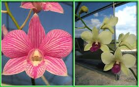 Dendrobium Orchid Dendrobium Orchid