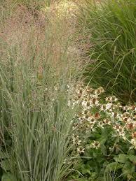 panicum virgatum heavy metal janus gardens inc ornamental