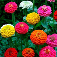 zinnia flower gorgeous california zinnia flower seeds seeds