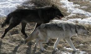 wolf facts international wolf center