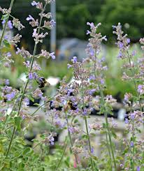 Most Fragrant Lavender Plant - 10 plants that repel mosquitoes fairview garden center