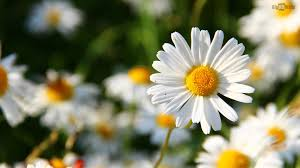 daisy flower hd desktop background bighdwalls