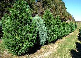 christmas tree demand high extra rains help growers mississippi