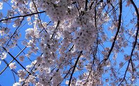 japanese blossom tree japanese cherry blossom tree for sale los