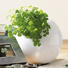 Home Decorating Plants Shamrock Plant St Patricks Day Or Christmas Gift Ideas And Cheap