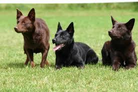 j bar w australian shepherd top 20 cutest dog breeds around the world
