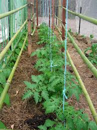tomatoes in bamboo hardwood and string trellis doug beckers