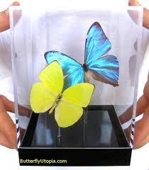 blue and yellow butterflies