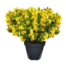 dalia in vaso lysimachia vaso 14 floricoltura magnani di magnani gianpaolo