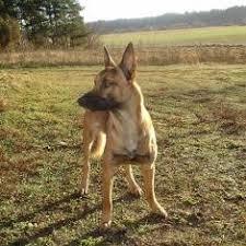 belgian shepherd dog malinois dogs belgian shepherd dog malinois uniteddogs