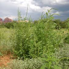 plants native to arizona palmer amaranth u2014 northern arizona invasive plants