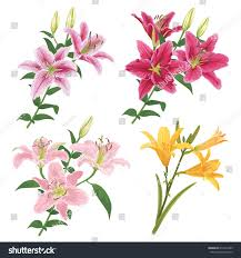 lilies flower colorful lilies flower on white background stock vector 674412589