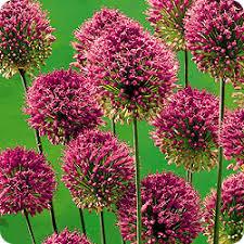 m purple drumsticks perennial mill bulbs