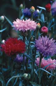 Bachelor Buttons The 8 Best Images About Bachelor Buttons Cornflowers On