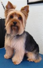 haircuts for yorkies with thin hair 43 best yorkies haircuts images on pinterest yorkie pets and