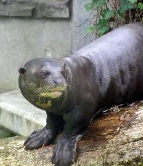 Sea Otter Meme - giant otter wikipedia