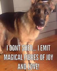 German Shepherd Memes - it s that time of year again but why do dogs shed find out