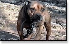 american pit bull terrier registry sporting dog registry american pit bull terrier