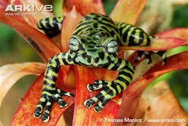 tiger s treefrog photos and facts hyloscirtus tigrinus