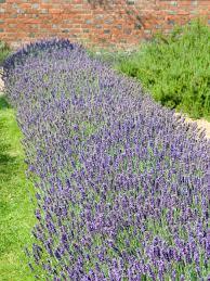 Garden Hedges Types Making A Lavender Hedge Hgtv