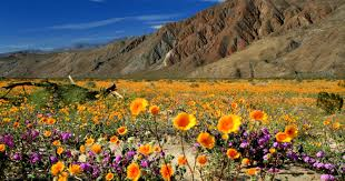 search for your u0027super bloom u0027