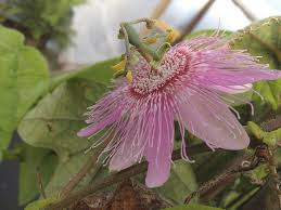 native plants passionflower vine grows pink nephrodes passion flower vine passiflora attract butterfly