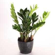 zz plant low maintenance house plants startribune hous gardenabc com