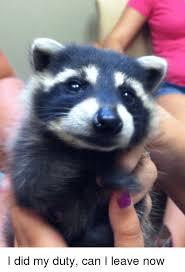 Racoon Meme - 25 best memes about baby raccoon baby raccoon memes