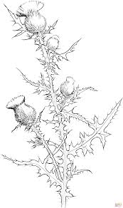 cirsium vulgare or bull thistle coloring page free printable